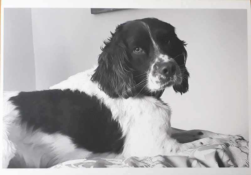 Photo of Bracken, a Springer Spaniel, who will be my blackwork embroidery subject